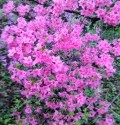 Azaleas, 50 YEARS old!!